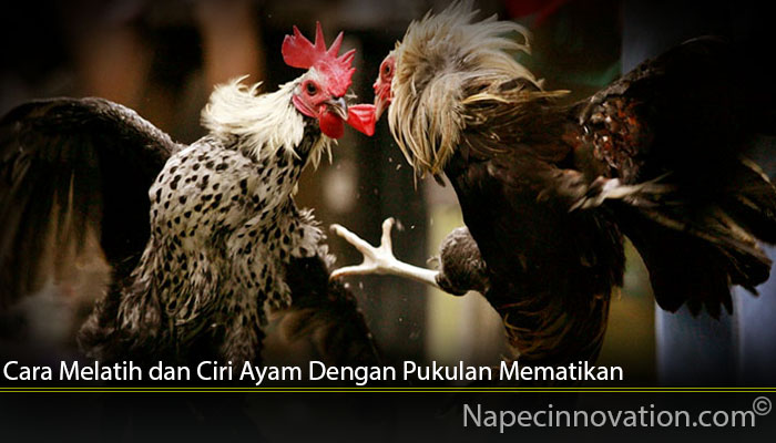 Cara Melatih dan Ciri Ayam Dengan Pukulan Mematikan