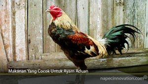 Makanan Yang Cocok Untuk Ayam Aduan