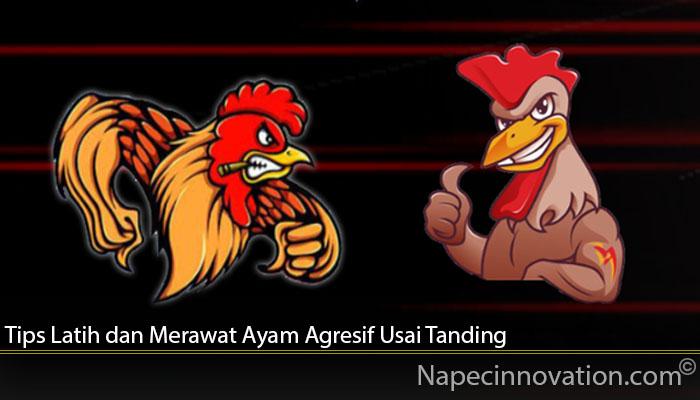 Tips Latih dan Merawat Ayam Agresif Usai Tanding
