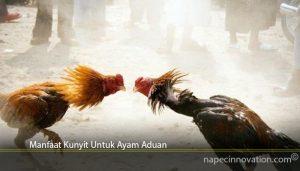 Manfaat Kunyit Untuk Ayam Aduan