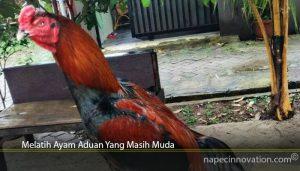 Melatih Ayam Aduan Yang Masih Muda